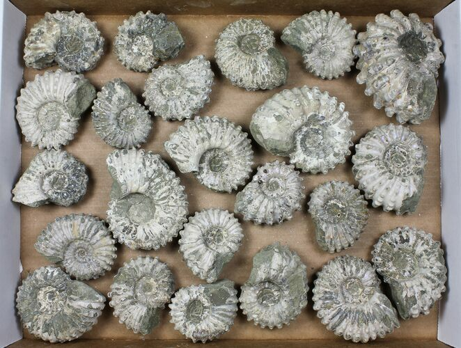 Wholesale: 5Kg Bumpy Ammonite (Douvilleiceras) Fossils - 23 pieces